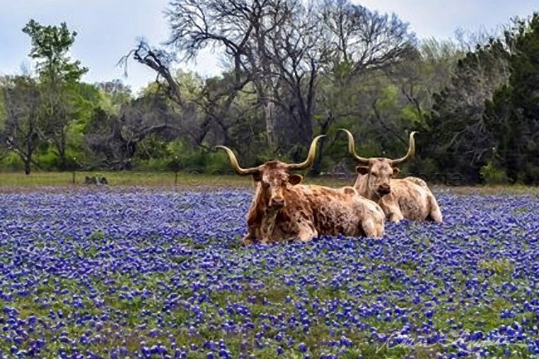 Longhorns and bluebonnets in a field