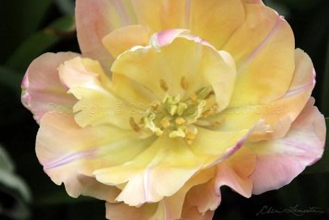 Pink Majesty soft pink and yellow botanical, flower
