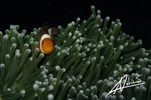 Anemone Fish at Anemone Reef, a Phuket Scuba Diving Site