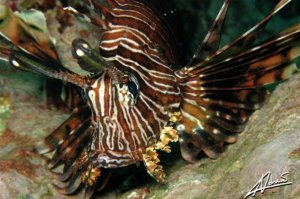Lion Fish at Banana Bay - Raya Noi Island - Diving in Phuket Thailand