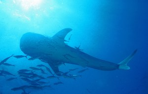 Whale Shark at Richelieu Rock, the best Diving Thailand Site