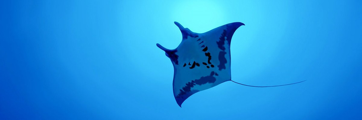 Manta Ray in Similan Thailand