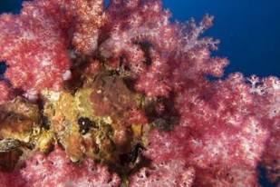 Soft Corals on HMS Repulse