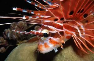 Fire Fish Portrait - Similan Islands