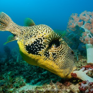 Giant pufferfish feeding on soft corals
