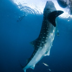 Yes there really are whale sharks feeding