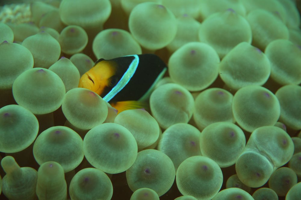 clownfish in musandam, oman