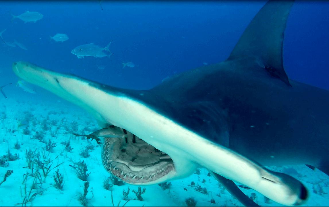 Bimini: Giant Hammerheads (Bahamas)