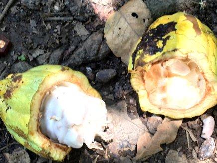 Kakao frucht nach der Ernte