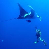 Giant Mantas  - Tauchparadies (Socorro/Mexico)