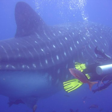 Diving with Whalesharks / Galapagos, Ecuador