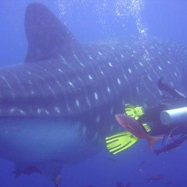 Diving with Whalesharks / Galapagos, Ecuador