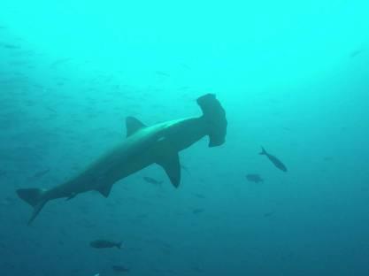 052-galapagos-darwin-hammerhead-shark
