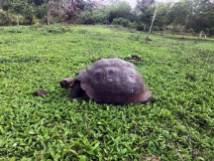 Galapagos-Schildkröte auf Santa Cruz