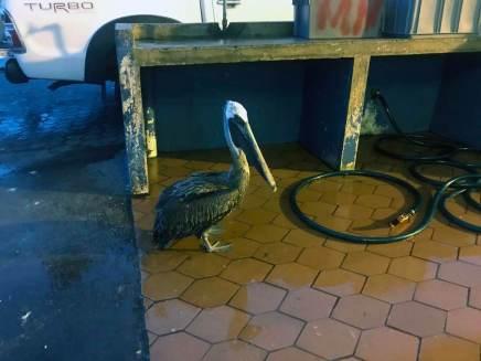 Ein Pelikan am Fischmarkt