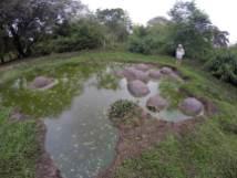 Galapagos-Schildkröten kühlen sich gerne im Schlamm ab