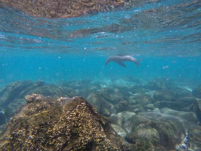 Schnorcheln mit Seelöwen (Mosquera, Galapagos)