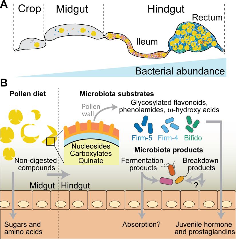 Kešnerová, L., Mars, R. A., Ellegaard, K. M., Troilo, M., Sauer, U., & Engel, P. (2017). Disentangling metabolic functions of bacteria in the honey bee gut. PLoS biology, 15(12)