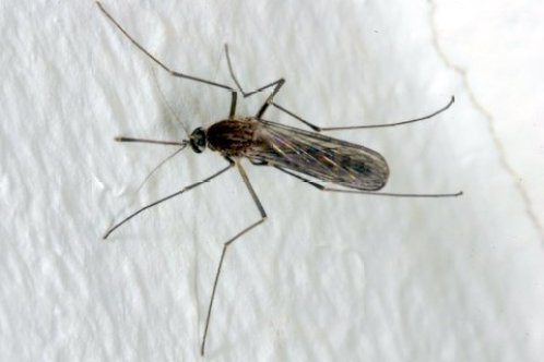 mosquito Culex pipiens Linnaeus, 1758. Fotografía tomada por Henk Gremmer para waarneming.nl