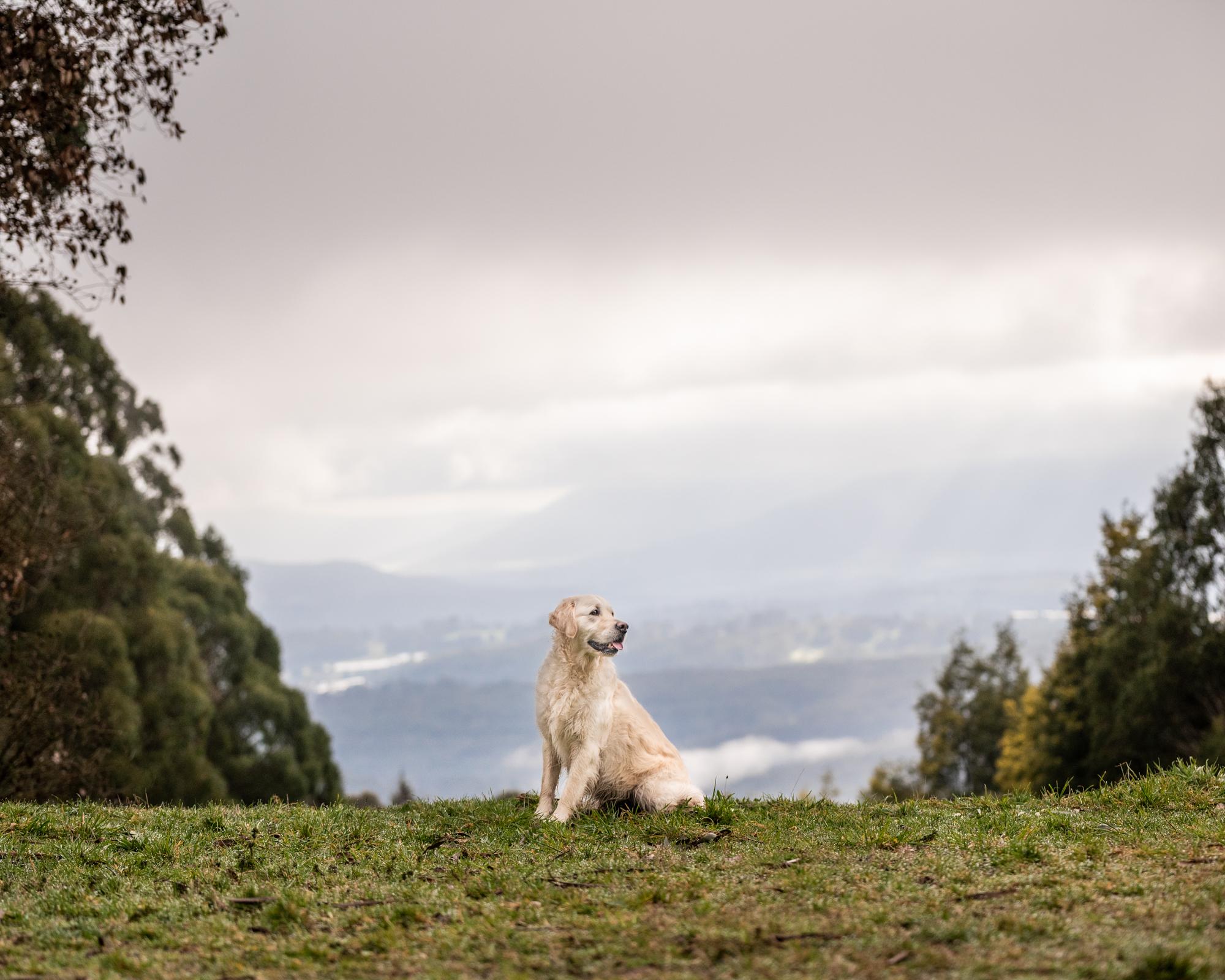 Dixon Photography, Dixon dog photography, dog photography Melbourne, location dog photography, pet photography Melbourne, Melbourne dog photographer, melbourne pet photography, dog photos Melbourne, golden retriever