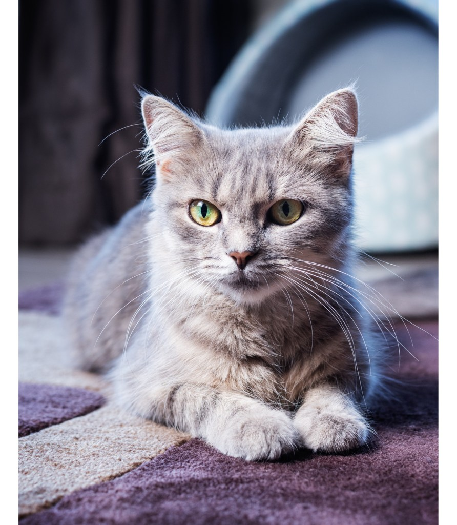 Dixon Photography, cat photography Melbourne, pet photography Melbourne, Melbourne cat photographer, cat photos Melbourne