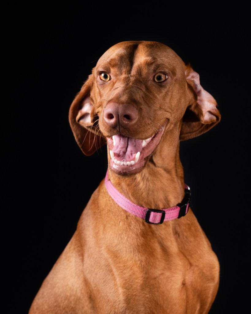 Dixon Dogs, Dixon Dog Photography, Dixon Photography, dog photography Melbourne, pet photography Melbourne, Melbourne dog photographer, pet photography mini-sessions, dog photos Melbourne, studio dog photography, vizla, hungarian vizla