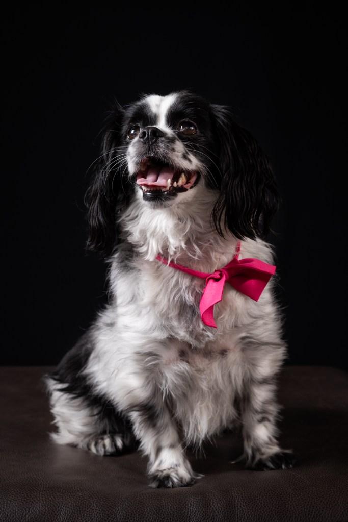 Dixon Dogs, Dixon Dog Photography, Dixon Photography, dog photography Melbourne, pet photography Melbourne, Melbourne dog photographer, pet photography mini-sessions, dog photos Melbourne, studio dog photography, cavalier cross, cavalier