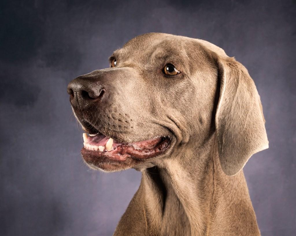 Dixon Dog Photography, Dixon Photography, dog photography Melbourne, pet photography Melbourne, Melbourne dog photographer, pet dog photos Melbourne, studio dog photography, weimerana, grey dog, big dog