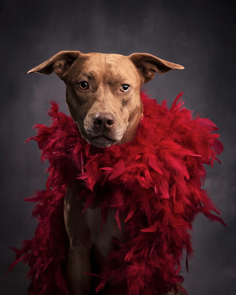 studio dog photography red feather boa
