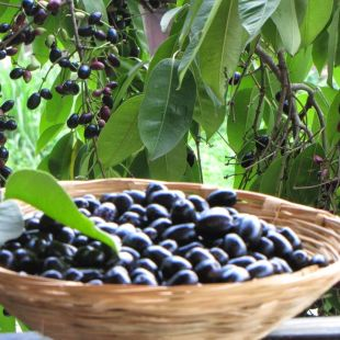 The delicious Black Jamun could be the answer to India's energy shortage