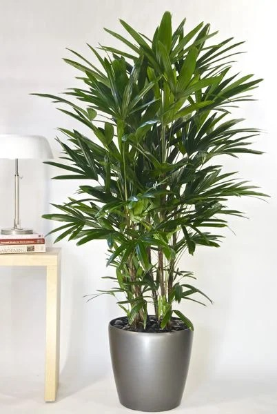 The Lady Palm plant is a SUPER cute way to dress up your home and improve your health.