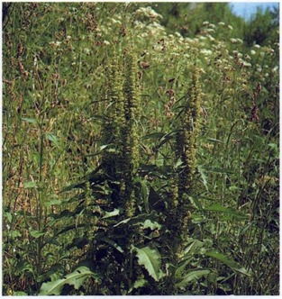 broad leaved dock - rumex obtusifolius