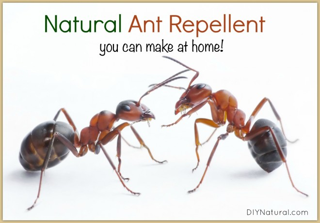 Ant Treatment Infographic