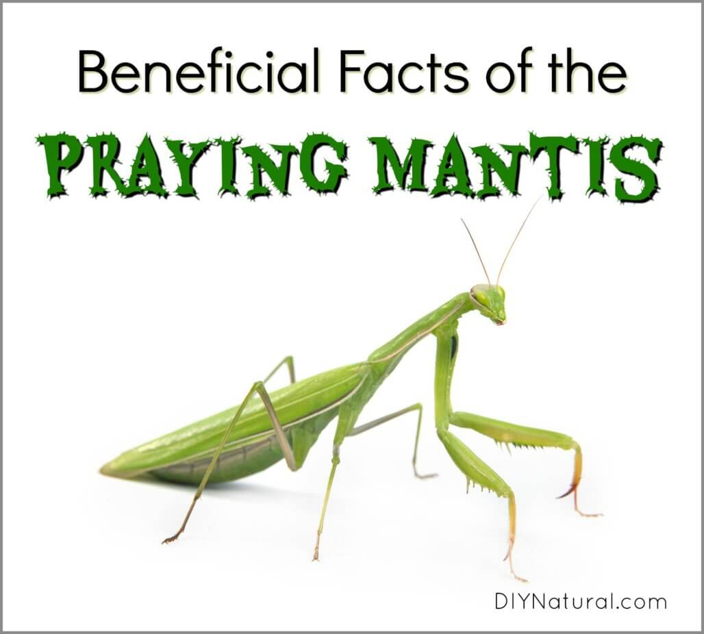 Praying Mantis Facts The Facts And Benefits Of Attracting