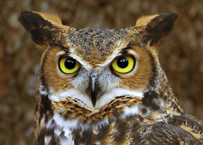 Image result for wise old owl