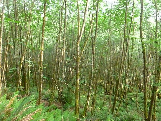 Thick saplings