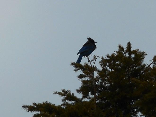 Blue Jay near the summit