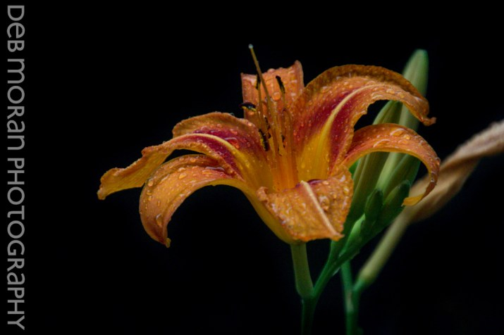 Drops on a Daylily