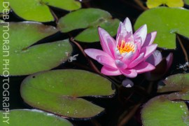 Pink Waterlily #1