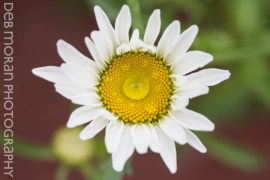 Water the Daisies
