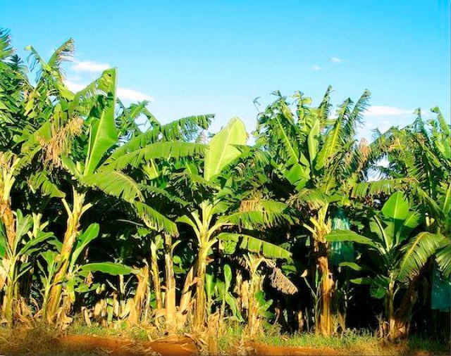 Bananal_Wikicommons