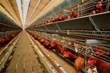 That is a lot of hens in one house. (Photo: Food, Inc.)