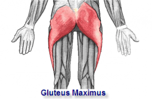 Anatomy word of the month: gluteus maximus - Des Moines ...