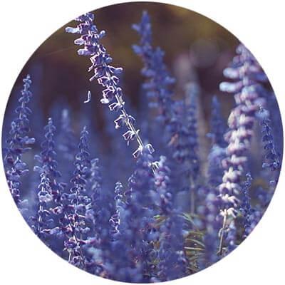 Lavender Oil is one of the certified organic ingredients used in DNA Organics hair care and colour products