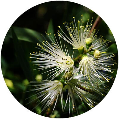Myrtle Lemon Leaf is one of the certified organic ingredients used in DNA Organics hair care and colour products