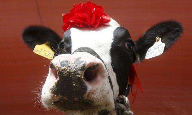 """В Мок Чау, на 200 км от Ханой във Виетнам всяка година се провежда конкурсът """"""""Мис млекодайна крава''. От 18 000 добичета в околността само 126 бяха допуснати до участие."""