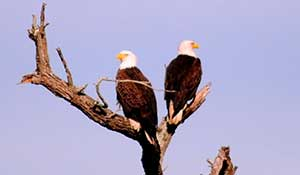 Photo Safari - Bald eagles