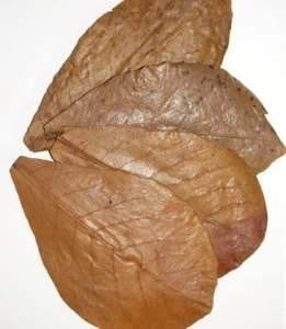 use-of-leaves-indian-almond-leaves