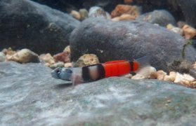 Red Belted Goby - (Sicyopus zosterophorus)