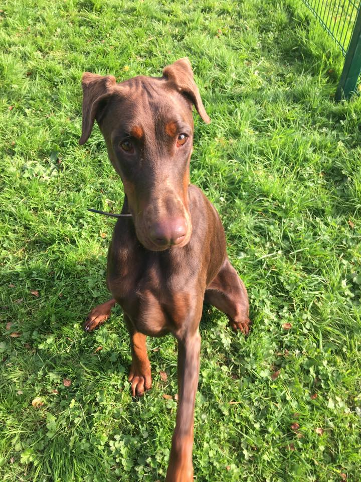 Dobermann rescue duitsland